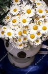 Bouquet de marguerites, gros plan.