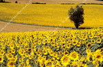 Champ de tournesols, Lauragais.